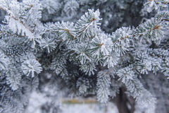 Winter background. A coniferous tree in hoarfrost and snow.  Royalty Free Stock Images