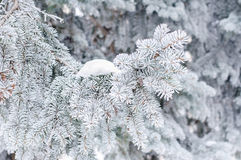 Winter background. A coniferous tree in hoarfrost and snow Royalty Free Stock Photography