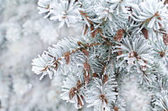 Winter background. A coniferous tree in hoarfrost and snow Stock Photo