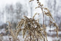 Winter. Dry spikelets grass covered with a frost. Shallow dof. Winter background. Dry spikelets grass covered with a frost. Shallow dof Royalty Free Stock Photography