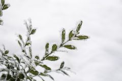 Winter background with frosty boxwood. Evergreen boxwood bushes under snow on a snowy background. Boxwood leaves in the snow stock images