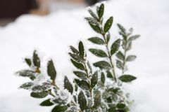 Winter background with frosty boxwood. Evergreen boxwood bushes under snow on a snowy background. Boxwood leaves in the snow stock photography