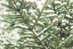 Winter background with frosty fir branches Royalty Free Stock Photo