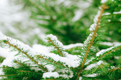 Winter background with frosty fir branches Royalty Free Stock Image