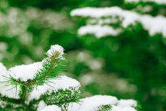 Winter background with frosty fir branches Royalty Free Stock Photography