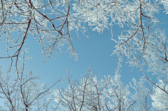 Winter background - frosty winter tree branches against blue sky. Winter landscape Royalty Free Stock Photo