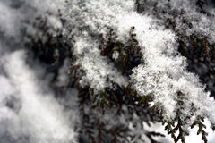 Winter background. With green christmas pine tree branch in snow and ice royalty free stock photo