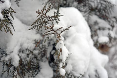 Winter background. With green christmas pine tree branch in snow and ice Stock Image