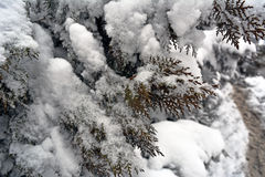 Winter background. With green christmas pine tree branch in snow and ice Royalty Free Stock Photos
