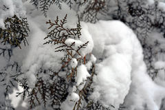 Winter background. With green christmas pine tree branch in snow and ice Royalty Free Stock Photography