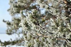 Winter background with green christmas pine tree branch in snow Stock Images