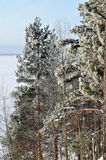 Winter background with green christmas pine trees Royalty Free Stock Photography