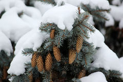 Winter background with green christmas pine trees Royalty Free Stock Photo