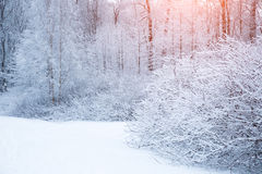 Winter background, landscape. Winter trees in wonderland. Winter Royalty Free Stock Photos