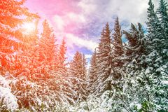 Winter background. Majestic white spruces on a perfect sky on the background. Picturesque and gorgeous wintry scene. retro style. soft light effect Stock Photos