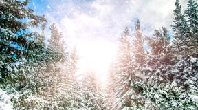 Winter background. Majestic white spruces on a perfect sky sky on the background. Winter background. Majestic white spruces on a perfect sky on the background Stock Images
