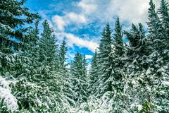 Winter background. Majestic white spruces on a perfect sky sky o. Winter background. Majestic white spruces on a perfect sky on the background . Picturesque and Stock Photo
