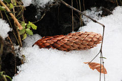 Winter background with pine cone Royalty Free Stock Photos