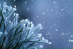 Winter background. Pine tree branches covered frost Stock Images