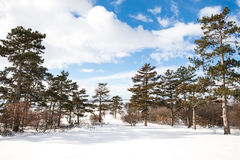 Winter background with pine trees Royalty Free Stock Photography