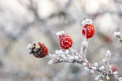 Winter background. Red berries on the frozen branches covered with hoarfrost Royalty Free Stock Photo