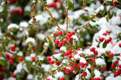 Winter background with red gaultheria and snow Stock Photo