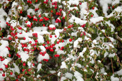Winter background with red gaultheria and snow Royalty Free Stock Photo