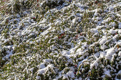 Winter background with red gaultheria and snow Stock Image