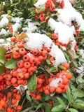 Winter snow covered rowan berry branch royalty free illustration
