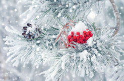 Winter background with snow-covered pine branch. Royalty Free Stock Photography