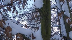 Winter background with snow-covered tree branches stock footage