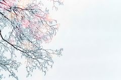 Winter background with snow covered tree branches and sunlight Royalty Free Stock Image