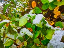 Snow and ice crystals on bush leaves. Winter background. Snow and ice crystals on bush leaves royalty free stock photography