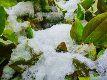 Snow and ice crystals on bush leaves. Winter background. Snow and ice crystals on bush leaves stock photography