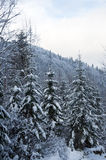 Winter background with snowy fir trees in mountains Royalty Free Stock Photo