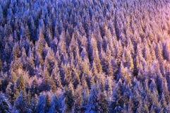 Winter background of snowy firs with beautiful light. Winter christmas background of snowy firs with beautiful sunset light stock photo