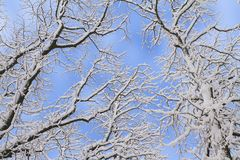 Winter snowy background. Fir tree branches covered with snow in forest. royalty free stock photography
