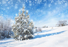 Winter background with spruce Royalty Free Stock Photos