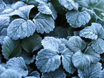 Winter background of strawberry leaves in frost. Macro winter background of strawberry leaves in first early frost ice crystals Royalty Free Stock Photos