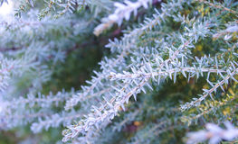 Winter background. Tree in frost. Branches of a Christmas tree covered with snow in cold weather. Frozen coniferous branches in wh Royalty Free Stock Images