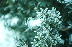 Winter background. Tree in frost. Branches of a Christmas tree covered with snow in cold weather. Frozen coniferous branches in wh Stock Photos