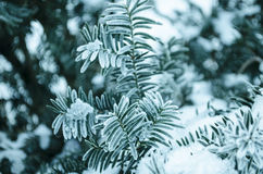 Winter background. Tree in frost. Branches of a Christmas tree covered with snow in cold weather. Frozen coniferous branches in wh Stock Photo