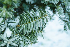 Winter background. Tree in frost. Branches of a Christmas tree covered with snow in cold weather. Frozen coniferous branches in wh Royalty Free Stock Image