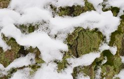 Tree trunk with snow, bark close-up. Royalty Free Stock Photo
