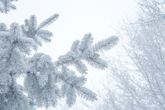 Winter background - white frosty fir branch Royalty Free Stock Images