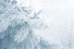 Winter background - white frosty fir branch Stock Image