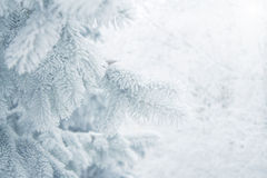 Winter background - white frosty fir branch Stock Photography