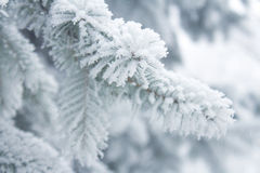 Winter background - white frosty fir branch Stock Images