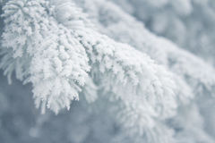 Winter background - white frosty fir branch Royalty Free Stock Photos