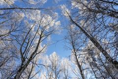 Blue sky through the tops of trees on a frosty day royalty free stock images